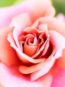 エレガントなピンク色のバラの生花髪飾り